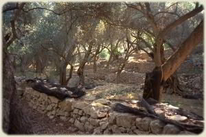 Paxos - Olive Grove